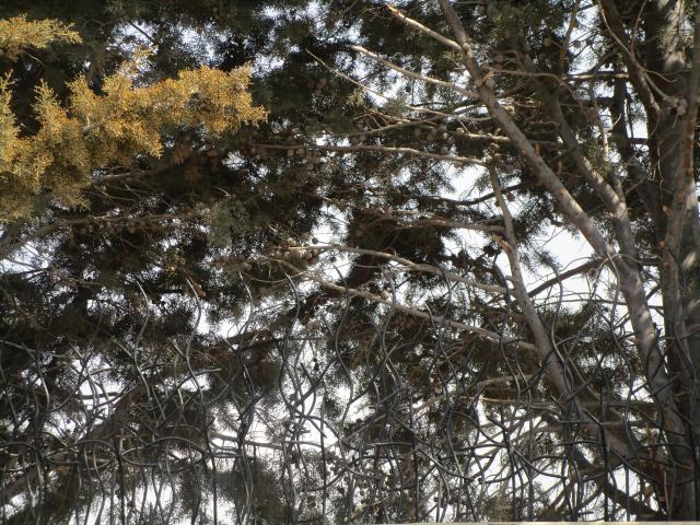 حفاظ شاخ گوزنی برای باغ